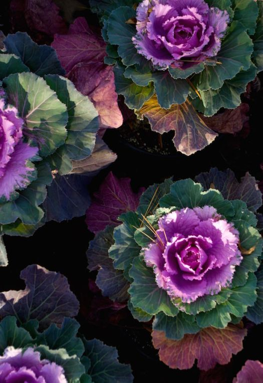 The ornamental kale at the