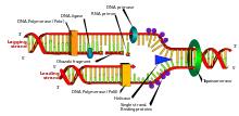 220px-DNA_replication_en.svg